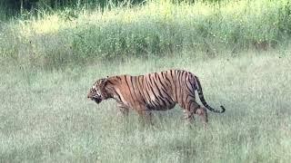 Matkasur Tiger Walk @ Tadoba Tiger Reserve