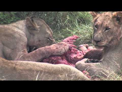 Lions Feeding at Shamwari Game Reserve