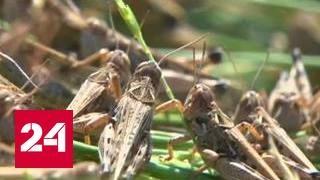 В Дагестане борются с нашествием марокканской саранчи