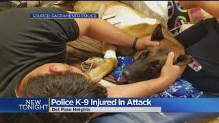 Sacramento K-9 Reno Expected To Survive Wild Encounter With Suspect