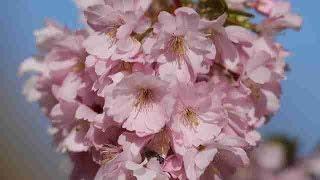 Los cerezos en flor dan la bienvenida a la primavera en Alemania