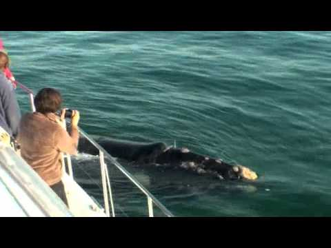 Whale Watching – June 2012. Hermanus. South Africa