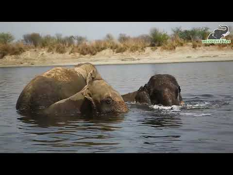 Rescued Elephants enjoying their time in the river.
