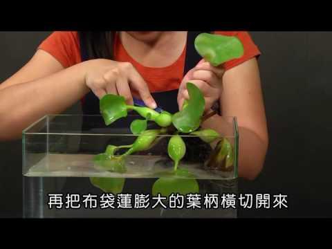 國小_自然_動手做:觀察漂浮性植物【翰林出版_四上_第二單元 水生生物的世界】 - YouTube