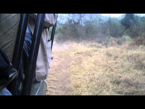 South African  Safari–Lion chasing impala