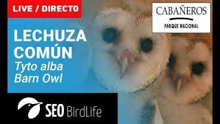 Lechuza común- Parque Nacional de Cabañeros-SEO/BirdLife