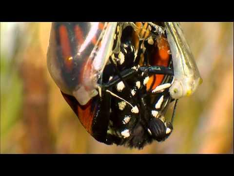 蝴蝶的一生(大遷徙 - 千里跋涉 )- YouTube