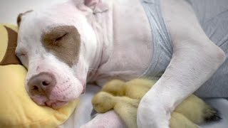 This Rescue Dog Adopted Two Abandoned Ducklings