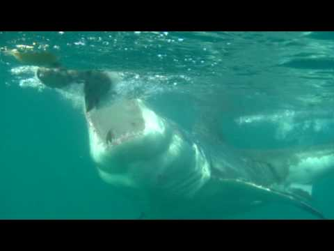 Great White Shark – slomotion sharks Gansbaai South Africa 2009