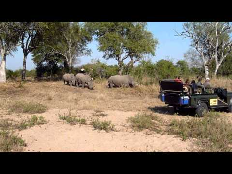Rhinos on Parade – Mala Mala, South Africa
