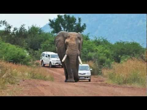 Road Rage: Elephant vs. Volkswagen.  Elephant wins.