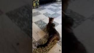 Le chat qui fait du twerk.