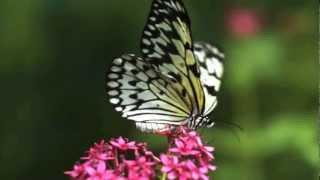 Butterflies -Pan Flute