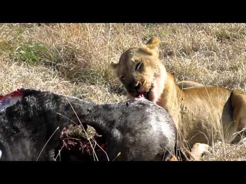 Singita Ebony Game Drive – Lions 3