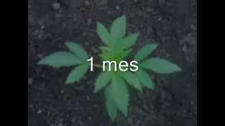 crecimiento planta de marihuana