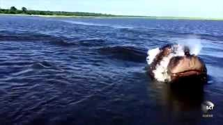Watch a hippo chasing a boat