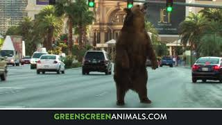 Compositing with GreenScreen Animals: Grizzly Bear