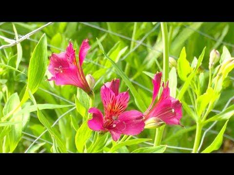 Sfaturi pentru îngrijirea plantei prieteniei şi a iubirii