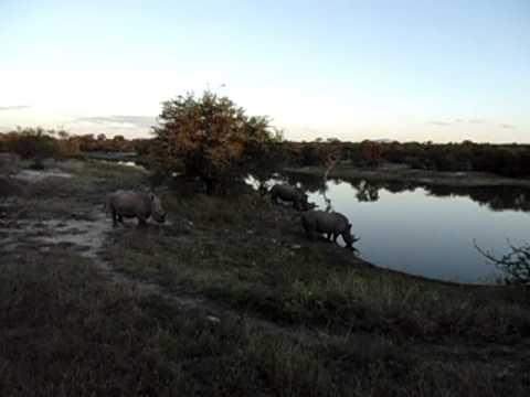 3 rhinos at impaladam.AVI