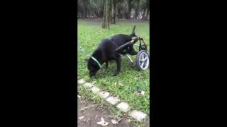 Animals Taiwan 台灣動物協會: Super sweet wheelchair dog Judy is looking for a home!