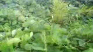 OilPalm Plantation - Mucuna Covercrop