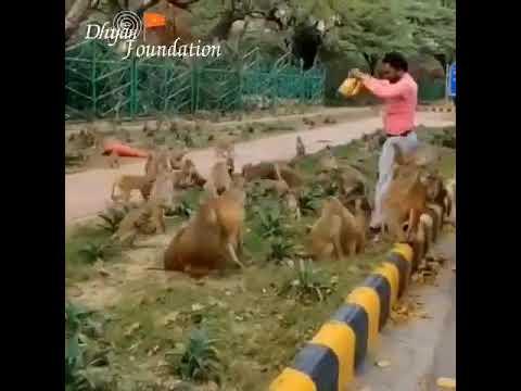 Monkey feeding at central ridge Delhi