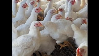 Broiler chicken rates rise by 70rupees per kg