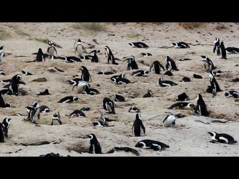 Boulders Beach_Penguins.MOV