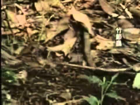 [HD]2015-01-18 奇幻夢森林 竹節蟲 枯葉蝶 蟬 - YouTube