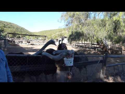 Ariam feeds Ostriches in South Africa