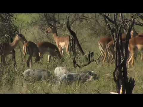 Tau Lodge Madikwe Game Reserve North West South Africa
