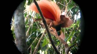 Raggiana Birds-of-paradise displaying