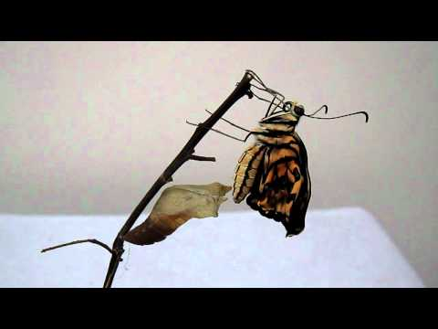 美麗鳳蝶仙子破蛹而出 - YouTube