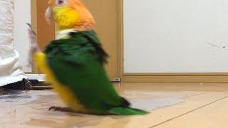 Papagaio fofo MARCHANDO lindo demais