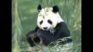 Panda panda! Random~