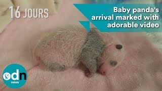 Baby panda's arrival marked with adorable video