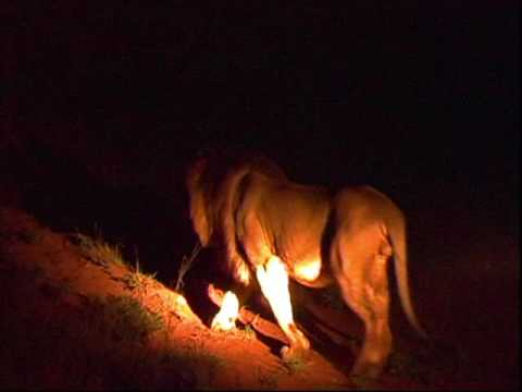 Lions Hunting at Night in Kruger – SA