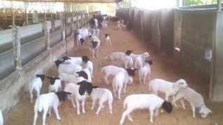 Ovelhas Dorper - venda permanente