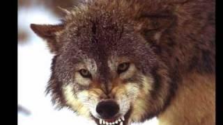 Country lobo
