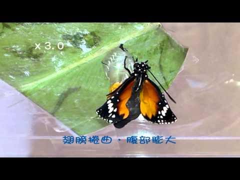 樺斑蝶羽化 - YouTube