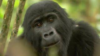Gorilla Mating - Mountain Gorilla - BBC