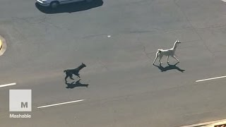 A High-Speed Llama Chase in Arizona Gripped the Nation | Mashable