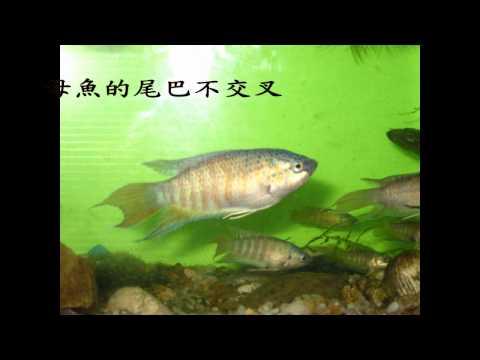 自然生命印象短片徵選-台灣的寶貝魚蓋斑鬥魚-徐詩凱 - YouTube
