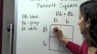 Incomplete Dominance Punnett Square