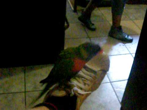 Lorikeet at Soweto Backpackers – South Africa – January 2011