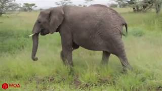 BABY ELEPHANT SAVED FROM CROCODILE ATTACK!!!! *MUST WATCH*