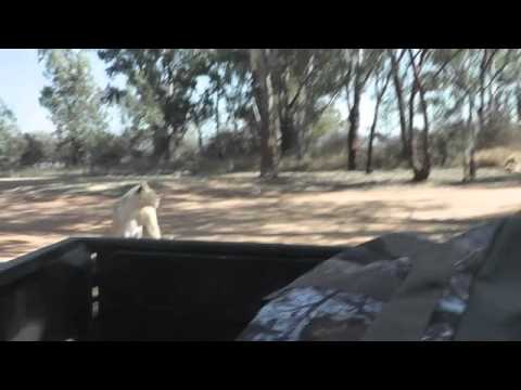 Lion jumps in our Truck!