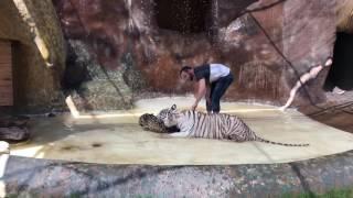 Tigre🐯 Mata A Jaguar 🐆😱😱😱 Y Muere Su Cuidador