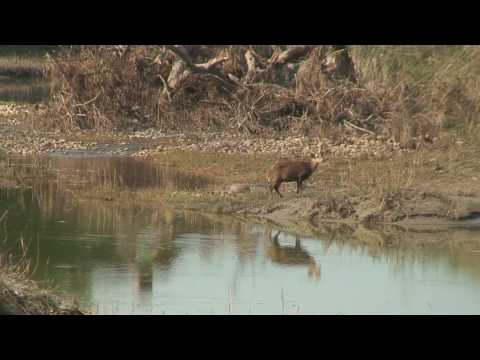 Barking Deer in Bardia National Park, Nepal