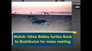 Watch: Olive Ridley turtles flock to Rushikulya for mass nesting  - Odisha News